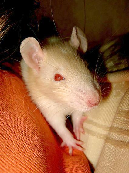 Piston le rat